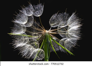 Dandelion isolated on black background. Abstract maco photo of dandelion seeds close up