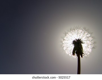 Dandelion isolated on the dark backgorund