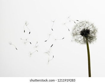 Dandelion isolated on white background