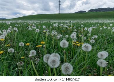 Dandelion landscape. Carinthia Austria - Image