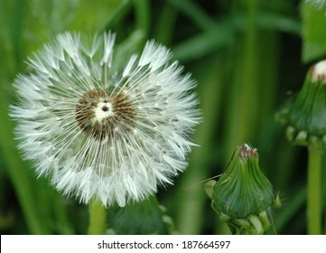 dandelion in late spring: symbolic image for nature, spring, allergy season. - Shutterstock ID 187664597