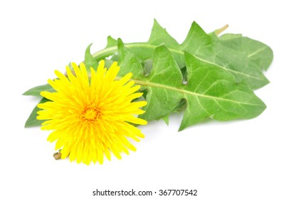 Dandelion leaves with a flower on a white background