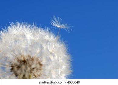 dandelion loosing seed