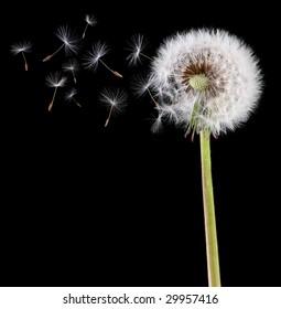 Dandelion loosing its seed in the blowing wind