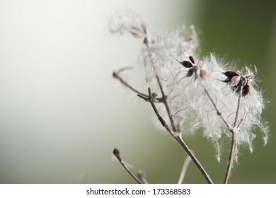dandelion macro detail on winter time
