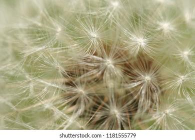 Dandelion macro late spring