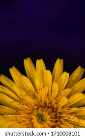Dandelion macro photo. Yellow dandelion flower close-up. Blue background. Blooming dandelion in the spring. Flat lay