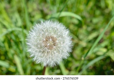 Dandelion with a meadow in the background