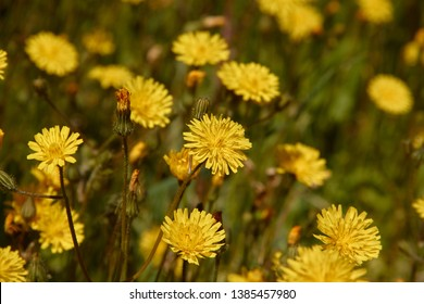 Dandelion meadow in Spain. Yellow and green colors.
