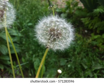 Dandelion on a background of grass