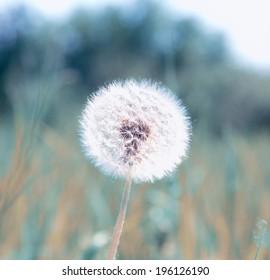 dandelion on background meadow