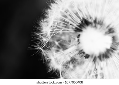 The dandelion on the black background .