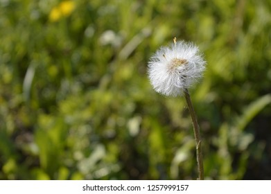 Dandelion on blurred green background. Blowball, coltsfoot, foalfoot. Summer