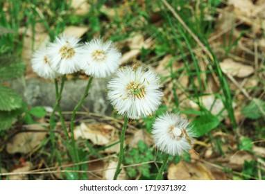 Dandelion on a field path