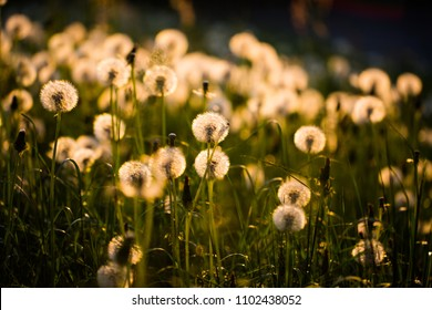 Dandelion on Field in Sunshine