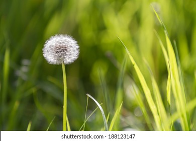 Dandelion on grass