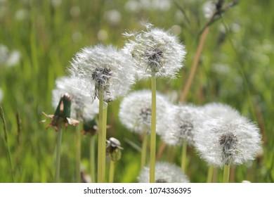 A lot of dandelion on a green background - Shutterstock ID 1074336395