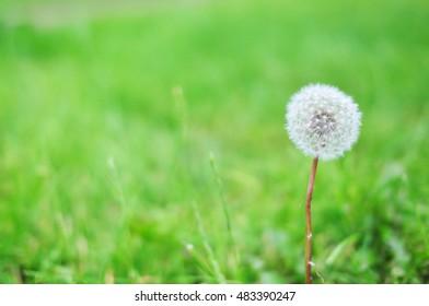 Dandelion on green field