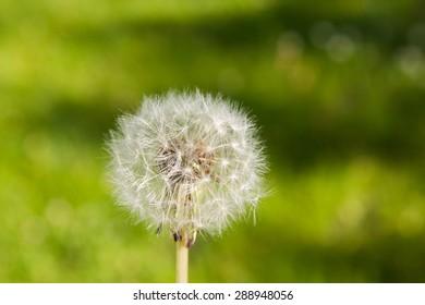 dandelion on the green grass background