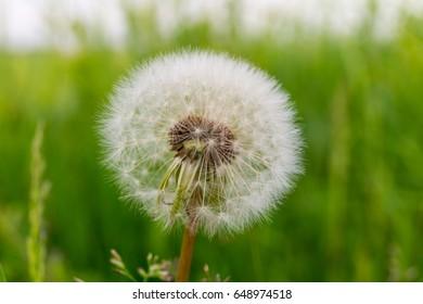 Dandelion on a green meadow