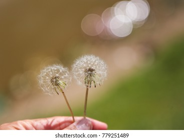 Dandelion On the lake With the background blurred