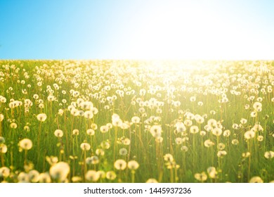 Dandelion on the meadow at sunlight background in springtime. Dandelions in meadow during sunset. Dandelion on the meadow at sunlight background in springtime