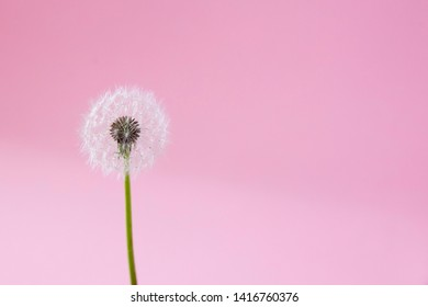 the dandelion on a pink background. Lettering space