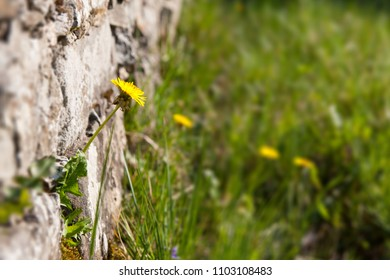Dandelion on a rustic natural stone wall in the sunshine with blurry background
