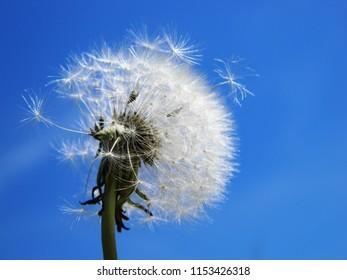 dandelion on sky background