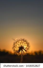 Dandelion on Sunset Landscape Background