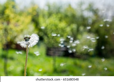 Dandelion on the wind. Dandelion fluff. Dandelion tranquil abstract closeup art background. dandelion air white beautiful meadow flower