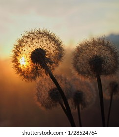 Dandelion at orange sunset. Fluffy dandelion against sunset front sun close up, blurred background. Ikebana of dried Dandelion flowers
