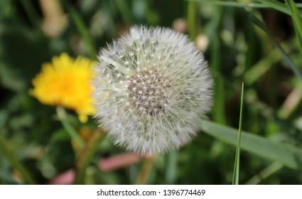 Dandelion ordinary - Taraxacum sect. Ruderalia