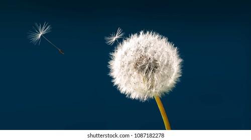 Dandelion as a dandelion with parachute against dark blue sky background.