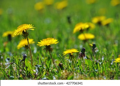 Dandelion Party - A Field of Summer Flowers in the Sun