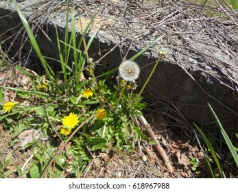 A dandelion patch before a cement block. East Tennessee, USA.