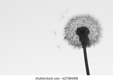 dandelion puff of black and white