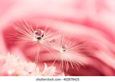 Dandelion puff, rose, drop, close-up, macro.