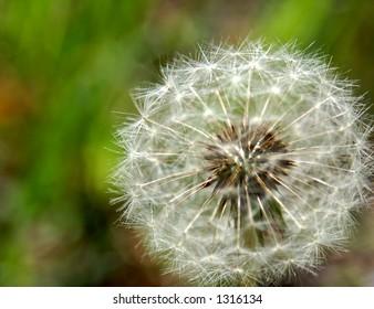 Dandelion puffball.