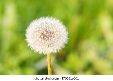 Dandelion or Puffball on blurry willow background