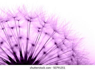 dandelion in purple