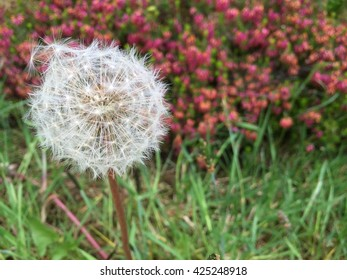 Dandelion ready to be blown