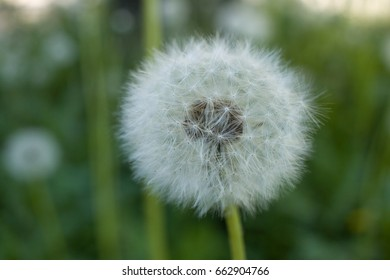 Dandelion ready to fall away