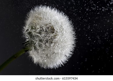 dandelion refresh