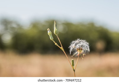 Dandelion. Salsify.