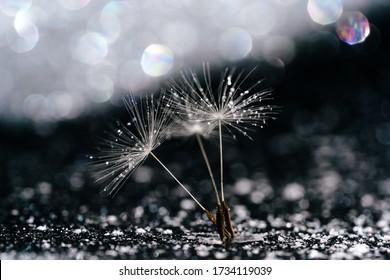 Dandelion Seed Abstract Glitter Bokeh Background. Blowball Stem on Blurry Sparkling Black Foil. White Lightweight Summer Flower Bloom, Glare Reflection. Creative Extreme Macro Shot