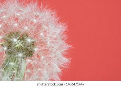 Dandelion Seed Head Blowball Close Up on Red Pink Abstract Background
