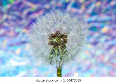 Dandelion Seed Head Blowball Close Up on Bokeh Defocused Vibrant Abstract Background