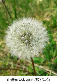 Dandelion Seed Head. Blowing Dandelion. Dandelion Blowing. Fluffy Dandelion.