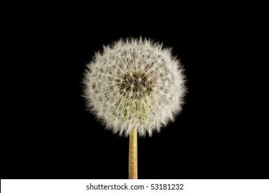 dandelion seed head clock on a black background